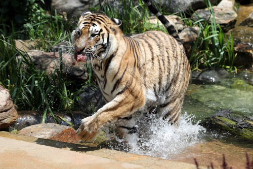 King of the Jungle Cools Off