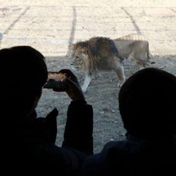Un peu plus près du lion