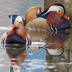 Le canard mandarin rejoint l'université