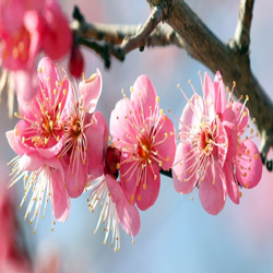 Red Apricot Blossoms