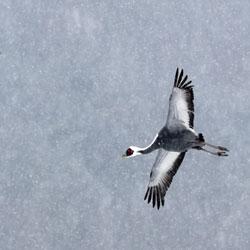 Cranes' Turf War