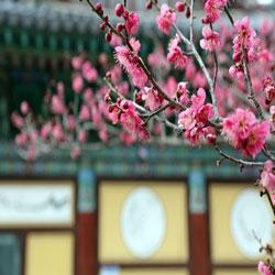 تفتح زهور البرقوق
