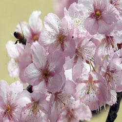 زهور الكرز رمز الربيع