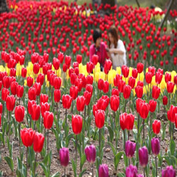 Tulips at Jeju Botanical Garden