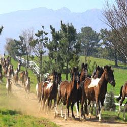 Indigenous Riding Horses