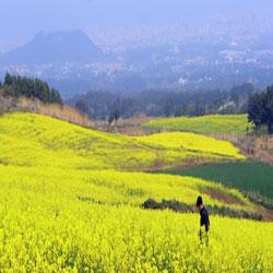 Jeju Canola Flowers