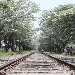 Cây hoa lưu tô rừng ở Jeonju