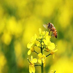 Mùa bận rộn của những chú ong