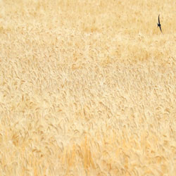 Ladang Gandum Emas Sebelum Panen
