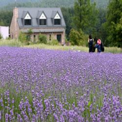 Purple Blossoms