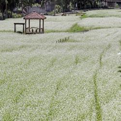 Campo de flores de trigo sarraceno