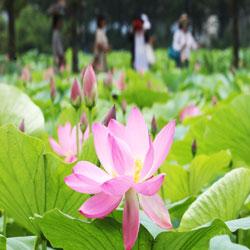 Temporada de lotos en flor