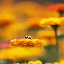 Пчёлы-труженицы