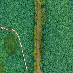 초록으로 물든 연꽃밭