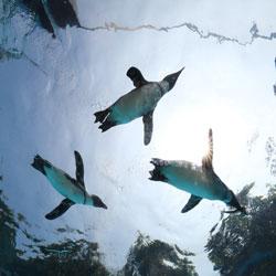 Пингвины в парке  Everland