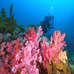 المرجان الناعم الملون