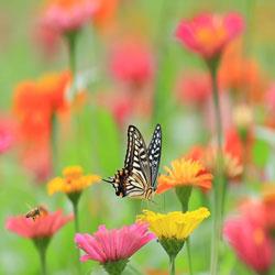 زهرة الكريب الآس والفراشة