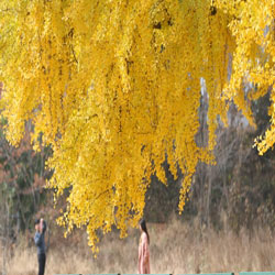 Musim Gugur Berwarna Kuning