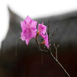 Bunga Azaela di Tengah Hujan