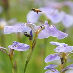 Пчёлка в цветке ириса