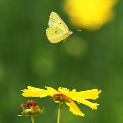 Лёгкий полёт бабочки в душную погоду