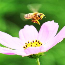 النحل المشغول على الرغم من الحرارة