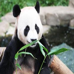 الباندا أصبح أَبًا