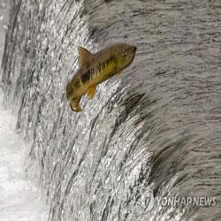 Loncatan Ikan Salmon