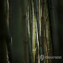 Colonie de bambous