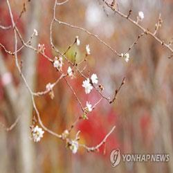 Des cerisiers en fleurs en automne