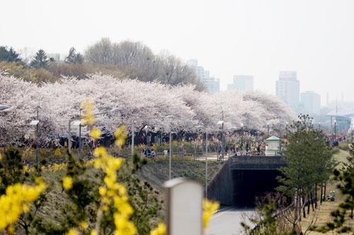 ソウルの花見