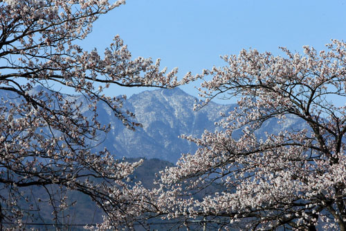 Cherry Blossom and Snowy Hill