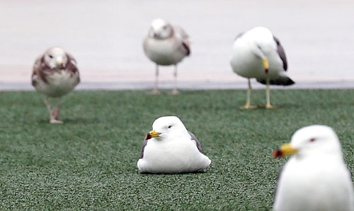 Seagulls Affected by Gusty Wind