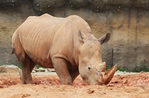 Tag des Nashorn