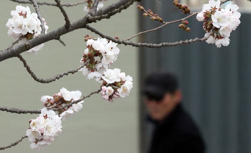 镇海樱花终于开放