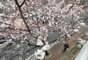 Jinhae Cherry Blossoms in Full Bloom