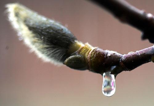 Магнолия под весенним дождём