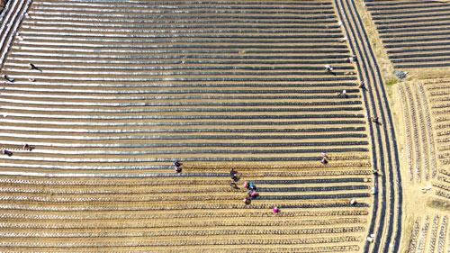 Крестьяне высаживают картофель