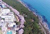 釜山海雲台の青い海と満開の桜