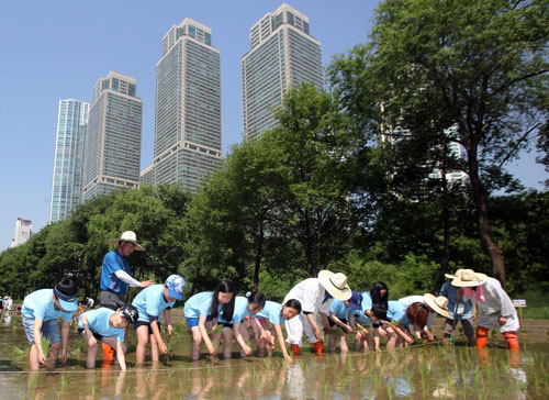 Rice Planting in the City