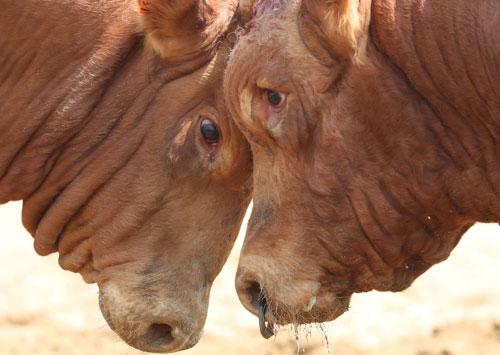Lucha de toros