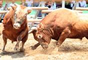 Kampfbullen