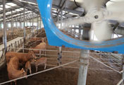 Cattle Sheds Struggle with Heat