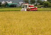 Bận rộn thu hoạch trên cánh đồng