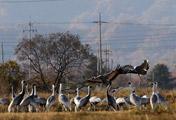 Cranes in Cheorwon to Pass Winter