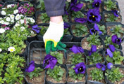 Plantar primavera