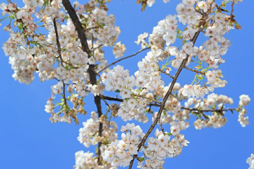 '久しぶり、桜'