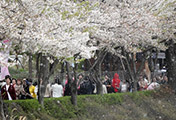 Cherry Blossom Shower at Seokchon Lake