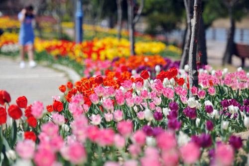 Tulipanes de colores