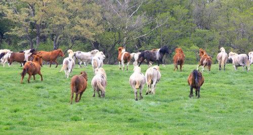 草原を走る済州馬